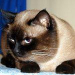 морда тайской кошки