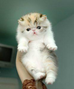 котенок-экзот