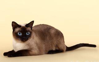 тайская кошка осн