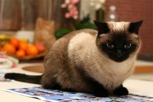 тайский кот