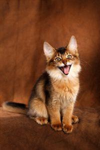 котенок сомалийки