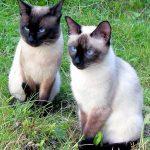 две тайских кошки