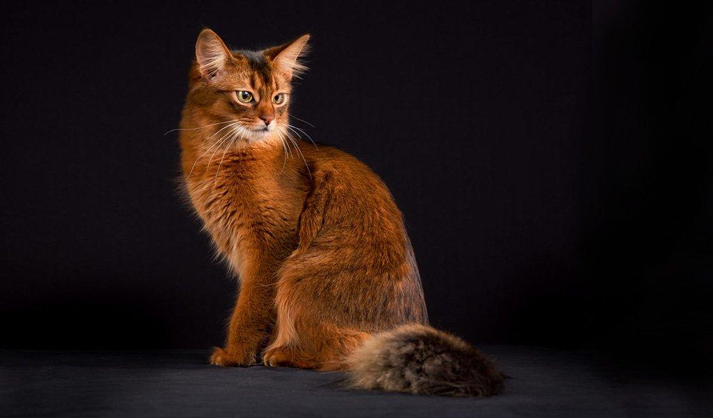 дикая сомалийская кошка