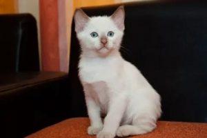 котенок тонкинеза