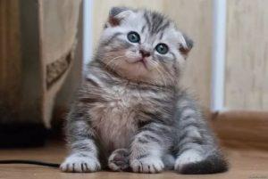 котенок скоттиш-фолда