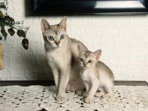 сингапурские кошка и котенок