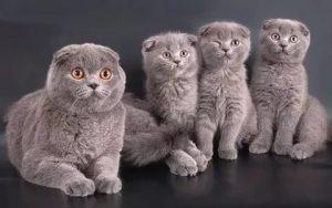 Скоттиш-фолд с котятами