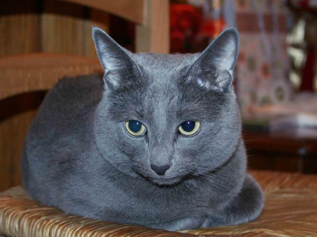 Русский кот описание