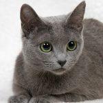 глаза русской голубой