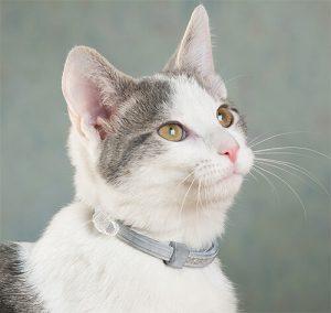 кот с серым ошейником
