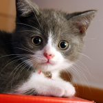 котенок серый