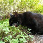 черный кот с мятой