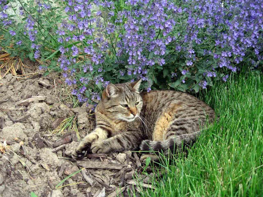 кошачья мята осн