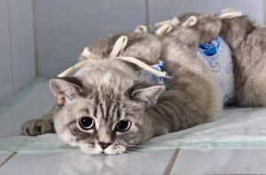 кошка в попоне