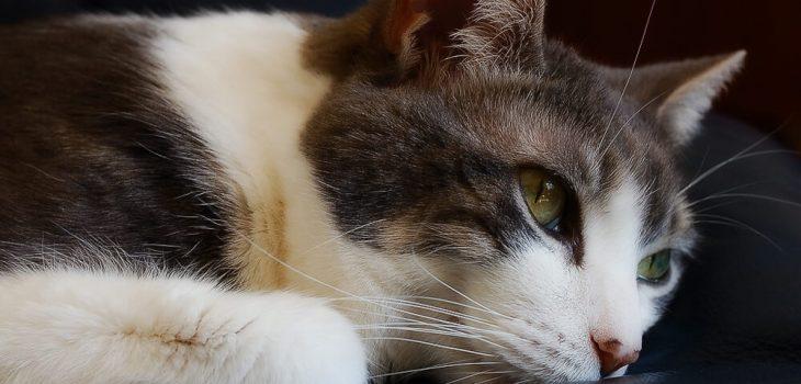 отодектин для кошек