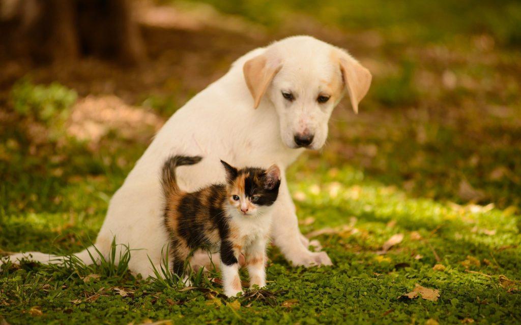 взрослый пес и котенок