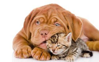 кошка с собакой осн
