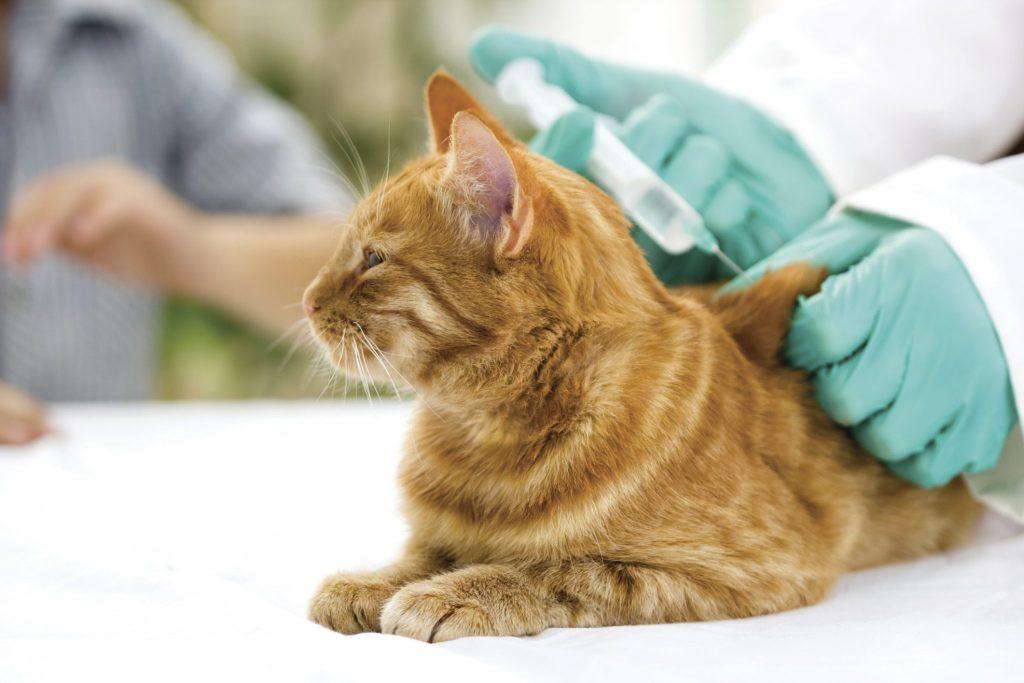 Вакцина от бешенства кошке