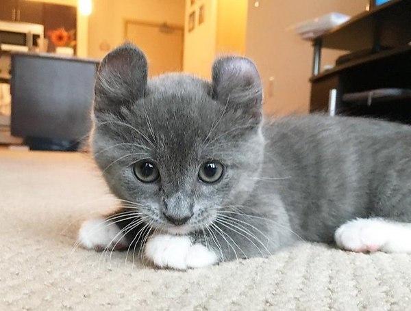 кинкалоу кошка
