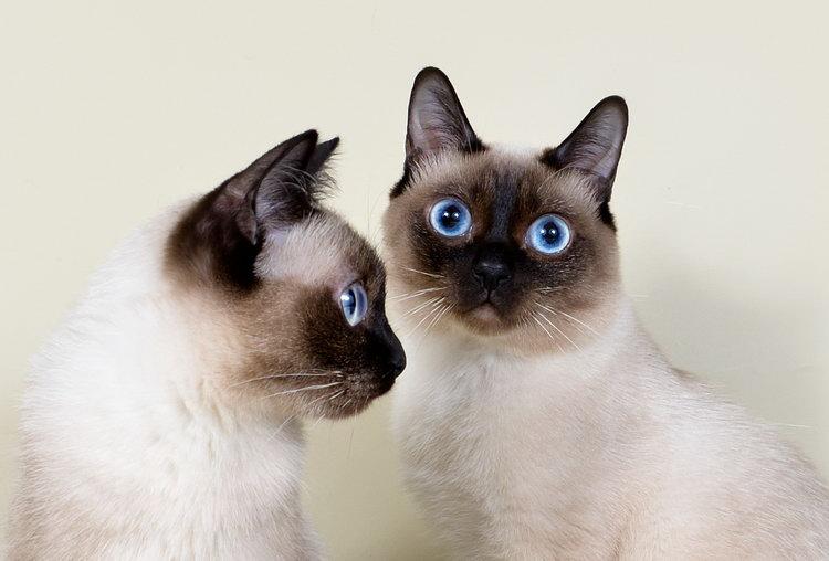 кошки той-боб