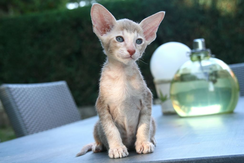 Картинки кошки маленьких пород
