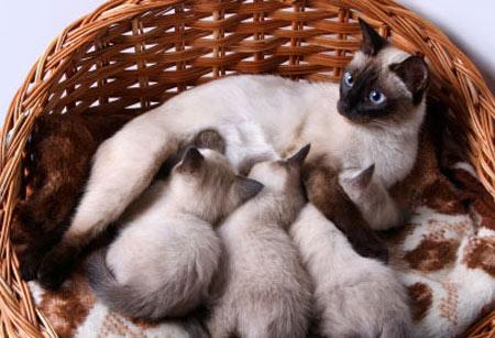 Корм для кормящих кошек