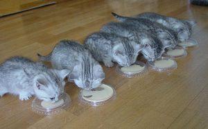 Натуральное питание для британских котят