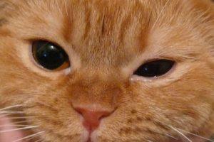 коньюктивит у кошки