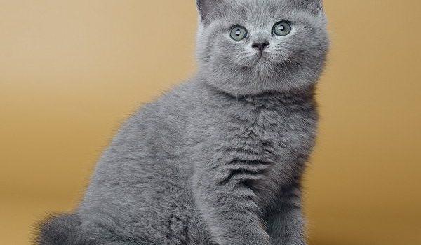 Чем лучше кормить британского котенка