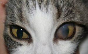 кератит у кошки