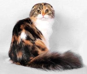 Кошка шотландка с черепаховым окрасом